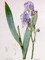 Erik-Zwaga-Geurengoeroe-Pierre-Joseph-Celestin-Redout-Iris-Pallida