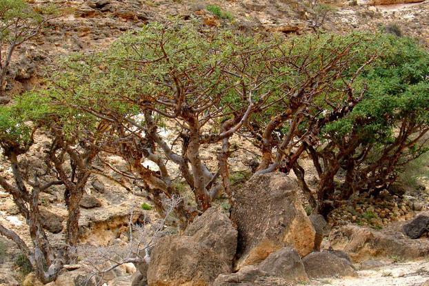 OLIBANUM TREES