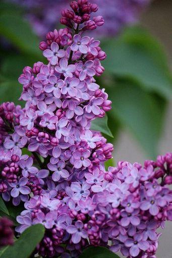 lilac-sering