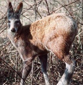 ARKive image GES061692 - Alpine musk deer