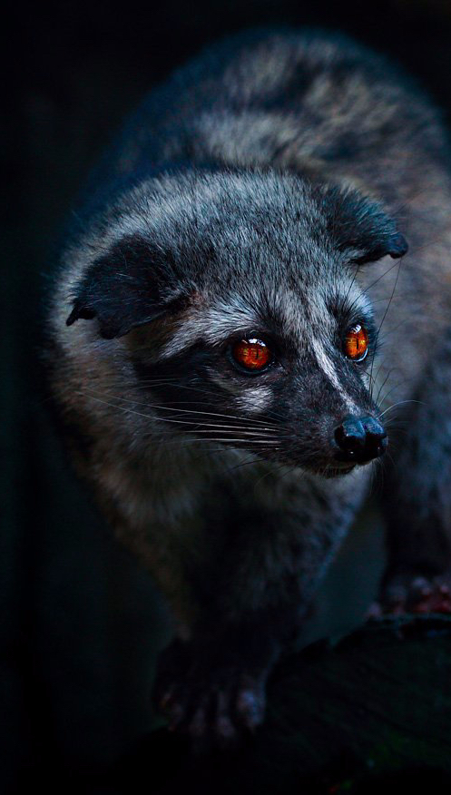 civet-in-dark.jpg
