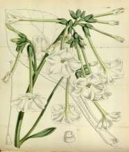 Nicotiana_fragrans